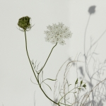 Flower and Seedhead